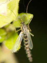 mosquito in nature. close-up