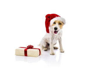 Dog sitting in santa hat next to gift isolated