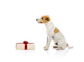 Dog sitting next to Chrismas gift isolated