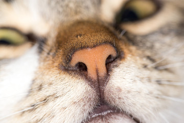 nose cat. close-up