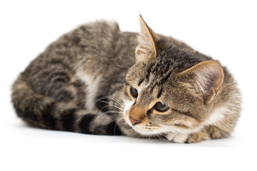 cat on a white background