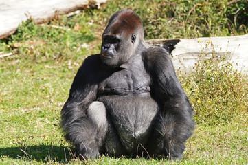 Gorille des plaines mâle adulte ou dos argenté