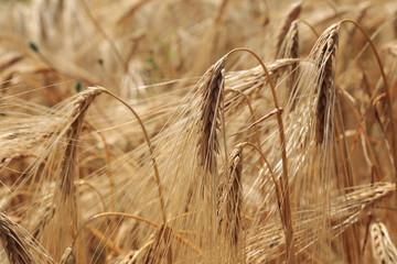 spighe di grano cereali