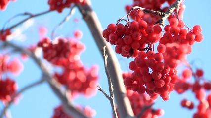 Rowan berries frozen