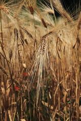 spighe di grano orzo cereali