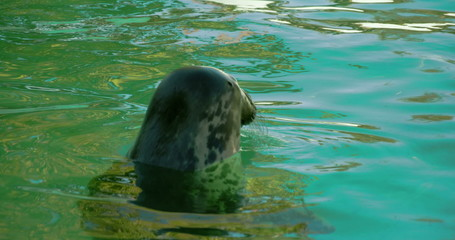 A common seal with its head above the water