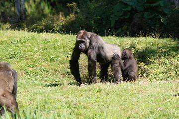 Gorille des plaines femelle et son bébé