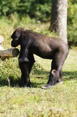 Gorille des plaines de profil