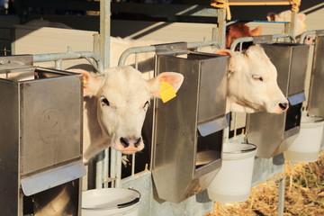 mucche bovini con targhetta identificativa nel box della stalla