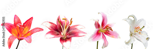 lily flower, set of the four isolated images