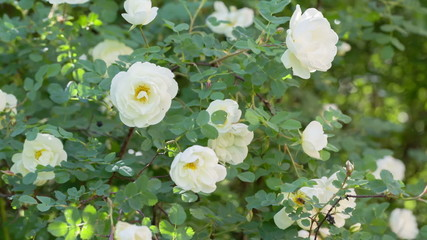 white brier rose flower on bush