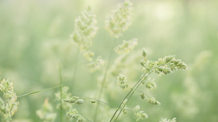 meadow grass with bluegrass sway on the wind, rustic style