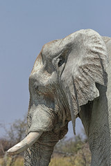 Elefant (Loxodonta africana) im Etosha-Nationalpark, Namibia