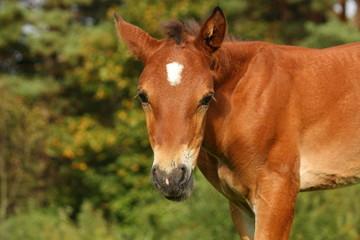Cute brown foal portrait in summer