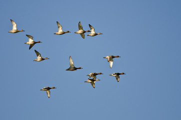 Flock of Redheads Flying in a Blue Sky
