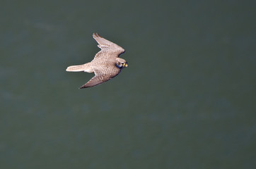 Prairie Falcon in Flight Viewed From Above