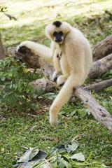 Gibbon sitting on the wood