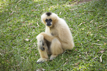 Gibbon on green grass