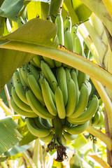 Bananen in der Plantage