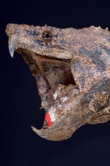 Alligator snapping turtle / Macrochelys temminckii