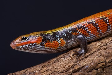 Fire skink / Lepidothryris fernandi