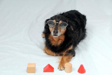 Dog IQ Test