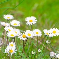 Gänseblümchen, Bellis perennis, Frühlingsblumen