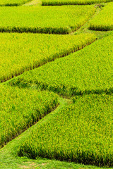 Abstract of rice field,Chaing mai,Thailand