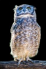 gufo africano - african owl