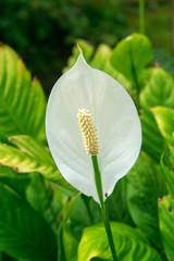 Spathiphyllum, Merry, ARACEAE