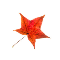 One isolated red autumn leaf