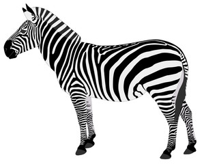 detailed illustration of zebra - vector