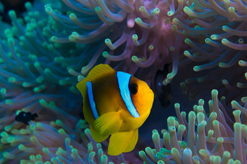 Clownfish and anemone on a tropical coral reef