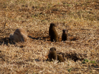 Cape ground squirrel and dwarf mongoose allies