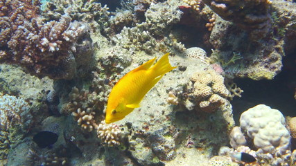 The Yellow Tang (Zebrasoma flavescens)