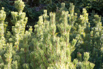 Green pine trees on mountainside