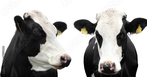Deurstickers Koe Two cows