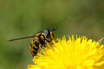 Syrphe pollinisant une fleur