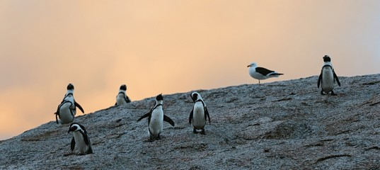 African penguins in twilights. Sunset sky.