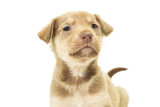 portrait of a beautiful mutts on a white background poster