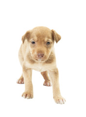 funny cute puppy unsure standing on all fours on a white backgro