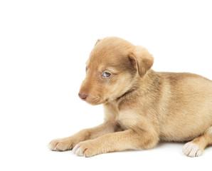 sad dog on a white background isolated