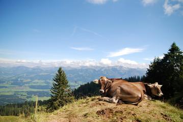 Kühe in Allgäuer Alpen