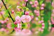 Blossoming of sakura flowers