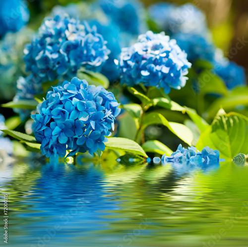 Hydrangea flowers - 72000315