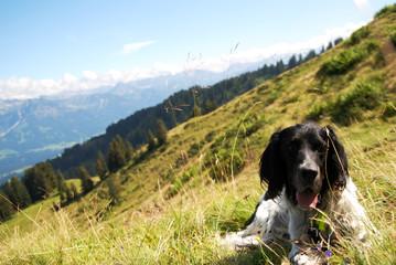 Englischer Setter in den Alpen