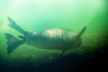 foca - seal