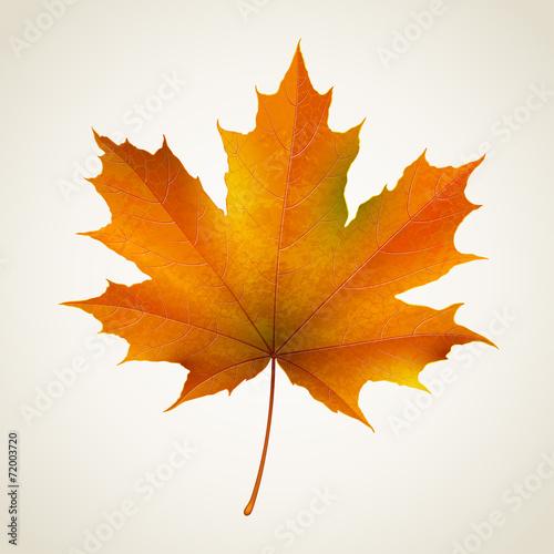 Single isolated autumn maple leaf