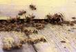 Obrazy na płótnie, fototapety, zdjęcia, fotoobrazy drukowane : Bees are going in and out of their beehive.
