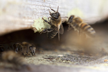 Bees are going in and out of their beehive.